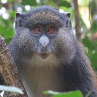 Monkey Hybrids Challenge Assumptions of What a Species Is