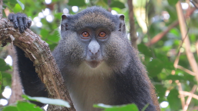 A Hybrid Male In The Study Group Gombe National Parkmaneno Mpongo Monkey Project