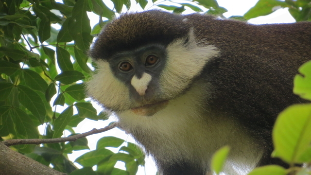 The Alpha Male Of Detwiler S Hybrid Monkey Study Group Is A Red Tailed Maneno Mpongo Gombe Project
