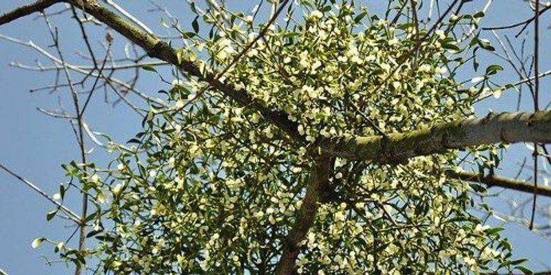 Mistletoe Lacks Key Energy-Generating Complex