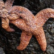 "Virus May Explain ""Melting"" Sea Stars"
