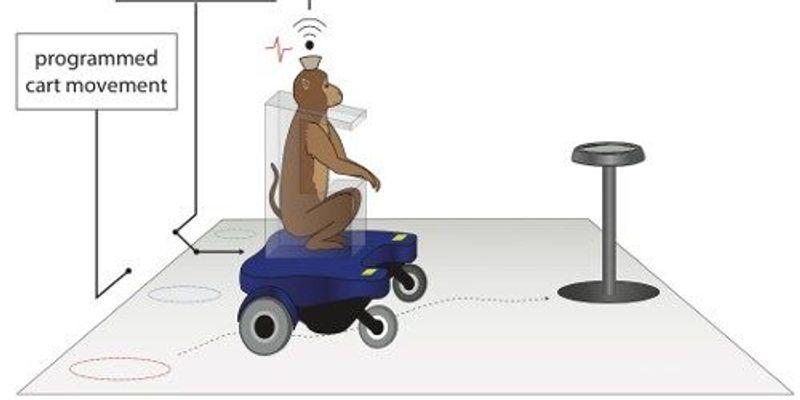 Monkeys Learn to Steer Wheelchair