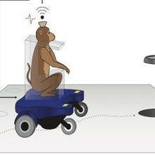 Monkeys Learn to Steer Wheelchair
