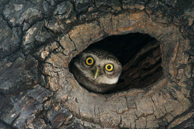 image of the day spot the owlet the scientist magazine