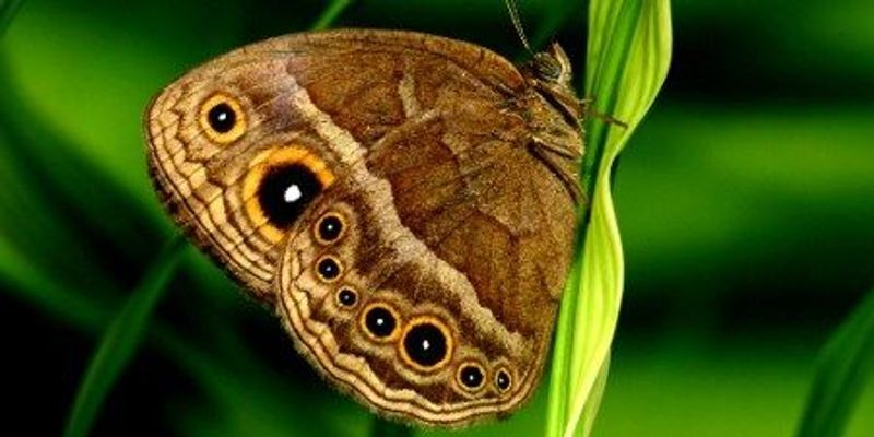 Butterfly Eyespots Deflect Predation