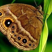 Butterfly Eyespots Deflect Predation