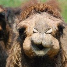 Camels are MERS Reservoirs