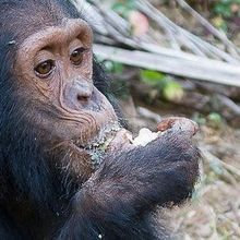 Great Ape Microbiomes
