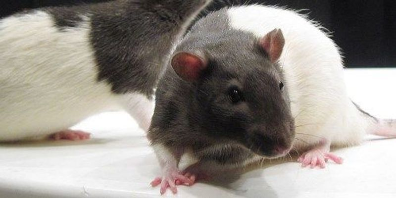 To Kill a Lab Rat