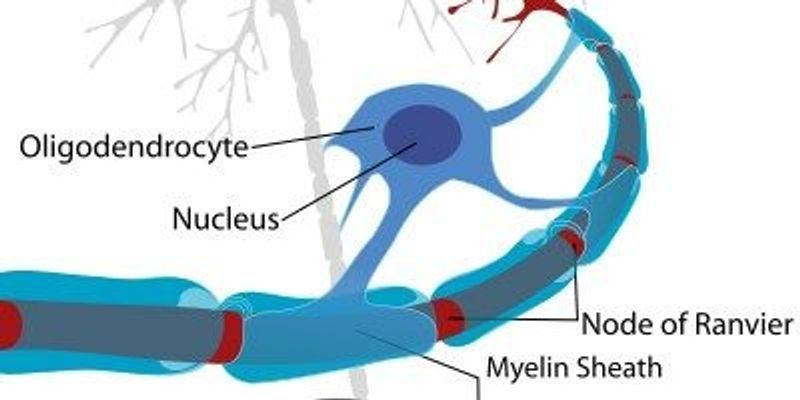 Myelin's Role in Motor Learning