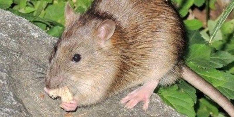 NYC's Pathogen-Riddled Rats