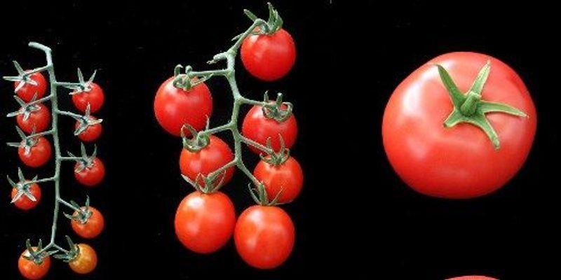 360-Degree View of the Tomato