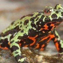 Origin of Frog-Killing Chytrid Fungus Found