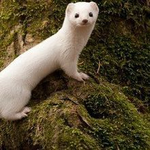 Image of the Day: White Weasel
