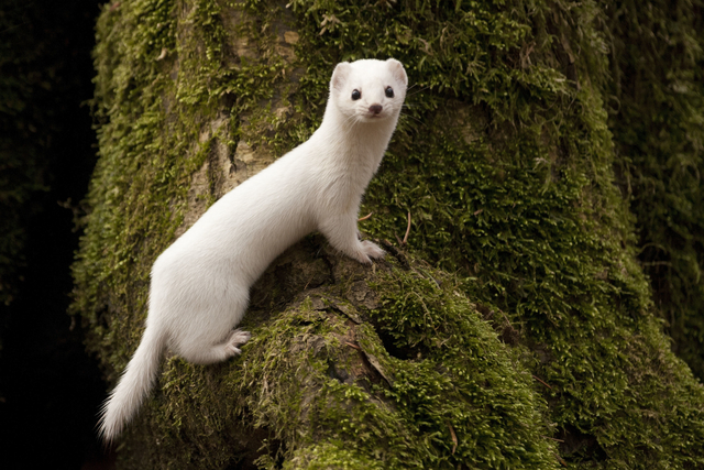image of the day white weasel the scientist magazine