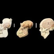Human-Specific Genes Implicated in Brain Size