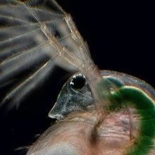 Image of the Day: Water Flea