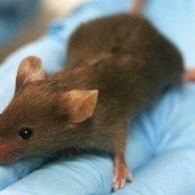 CRISPR Knock-in Mouse Debuts