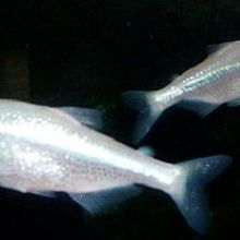 Cave-dwelling Fish Fail to Keep Time
