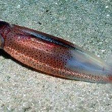 Squid-Inspired Electric Elastomer