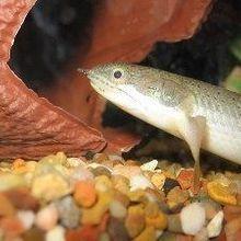 Walking Fish Model Evolution