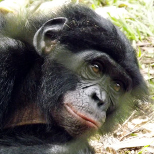 are apes as empathetic as humans the scientist magazine