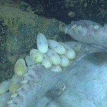 Cephalopod Coddling