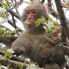 Blood Cell Counts Low in Fukushima Monkeys