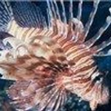 Dustup Over Lionfish Science Fair Project