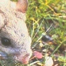 Gut Microbes Detoxify Rat Diets