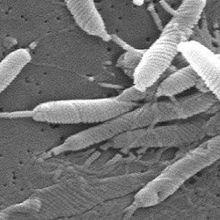 Ulcer-forming Bacteria Target Tiny Traumas