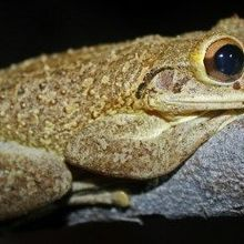Frog-Killing Fungus as Inoculum