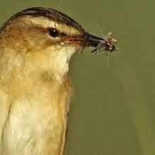 Insecticides Harm Birds Indirectly