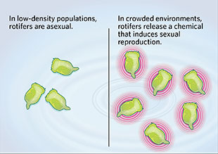 Bdelloid rotifers asexual reproduction