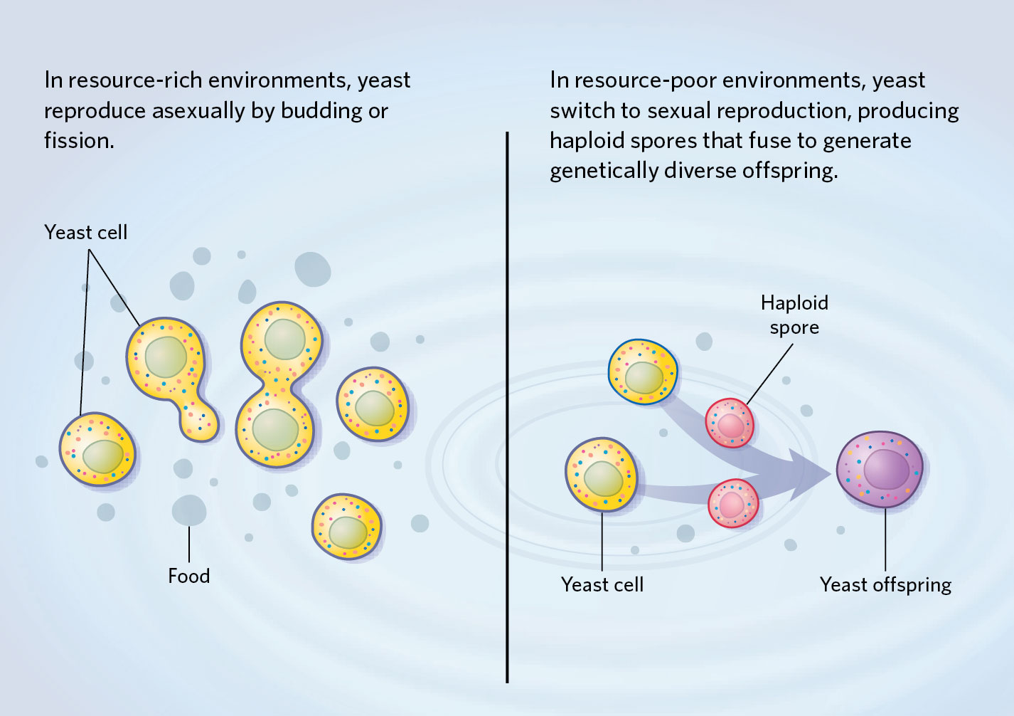 Yeast budding asexual reproduction examples