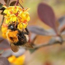 Opinion: Bumblebees in Trouble