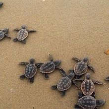 Image of the Day: Sea Turtle Sprint