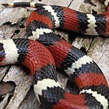 Snake Imitators Persist