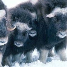 University Fined for Muskoxen Deaths