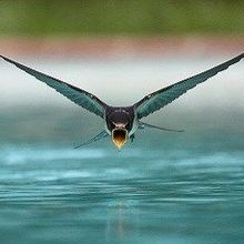 Image of the Day: Swooping Sip