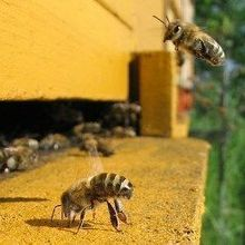 Recent Decline in Honeybee Deaths