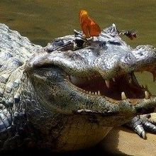 Image of the Day: Drinking Crocodile Tears
