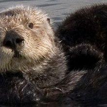 Sea Otter's Scourge