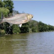 Something Is Killing Asian Carp