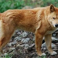 New ID for Dingoes