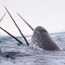 Making Sense of the Narwhal Tusk