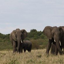 Discerning Elephants
