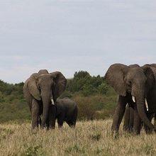 Discerning Elephants