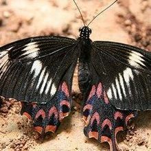 Supergene Discovered in Lookalike Butterflies