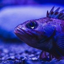 Flashy Deep Sea Fish